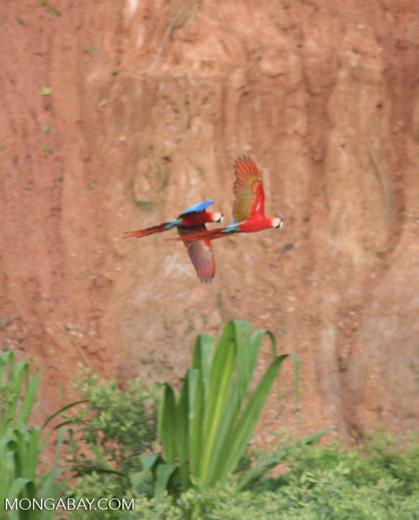 Pair of Scarlet macaws (Ara macao)