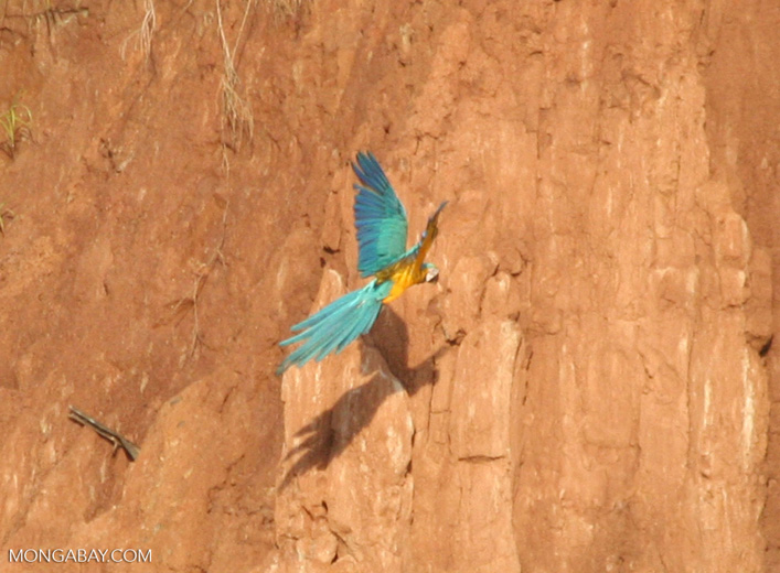 Blue-and-yellow macaw flying