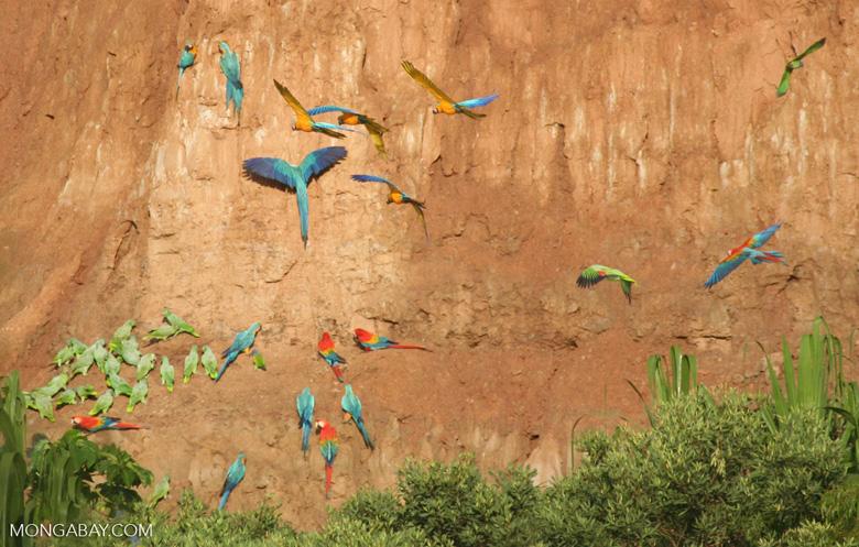 Blue-and-yellow macaws (Ara ararauna); Yellow-crowned parrots (Amazona ochrocephala); and Scarlet macaws feeding on clay [tambopata-Tambopata_1027_4170]