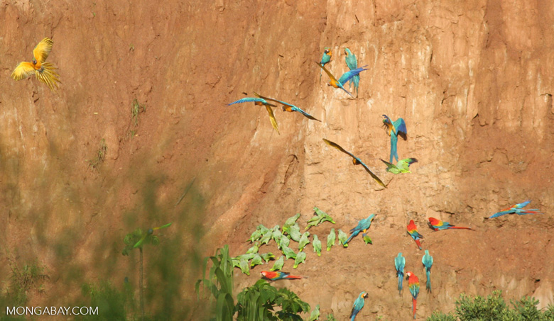 Blue-and-yellow macaws (Ara ararauna); Yellow-crowned parrots (Amazona ochrocephala); Mealy parrots (Amazona farinosa) and Scarlet macaws feeding on clay