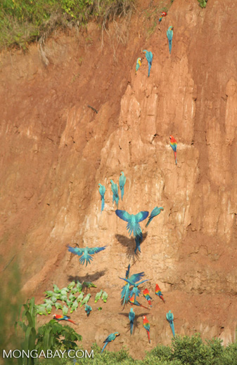 Blue-and-yellow macaws (Ara ararauna); Yellow-crowned parrots (Amazona ochrocephala); and Scarlet macaws feeding on clay [tambopata-Tambopata_1027_4175]
