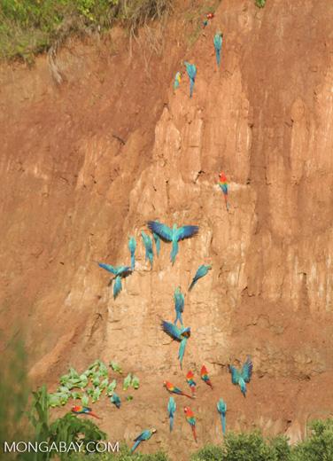 Blue-and-yellow macaws (Ara ararauna); Yellow-crowned parrots (Amazona ochrocephala); and Scarlet macaws feeding on clay [tambopata-Tambopata_1027_4176]