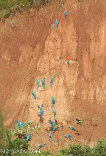Blue-and-yellow macaws (Ara ararauna); Yellow-crowned parrots (Amazona ochrocephala); and Scarlet macaws feeding on clay [tambopata-Tambopata_1027_4177]