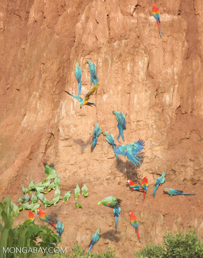 Blue-and-yellow macaws (Ara ararauna); Yellow-crowned parrots (Amazona ochrocephala); and Scarlet macaws feeding on clay [tambopata-Tambopata_1027_4179]