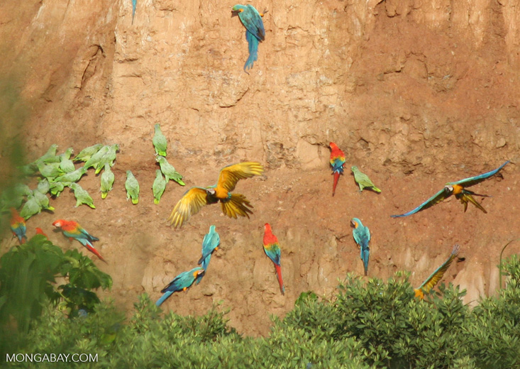 Blue-and-yellow macaws (Ara ararauna); Yellow-crowned parrots (Amazona ochrocephala); and Scarlet macaws feeding on clay [tambopata-Tambopata_1027_4182a]
