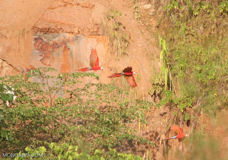 Three flying scarlet macaws (Ara macao)