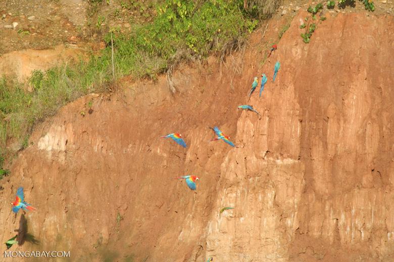 Blue-and-yellow macaws (Ara ararauna) and Scarlet macaws