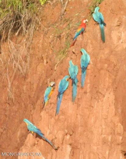 Blue-and-yellow macaws (Ara ararauna) and Scarlet macaws feeding on clay
