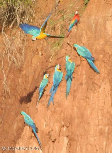 Blue-and-yellow macaws (Ara ararauna) and Scarlet macaws feeding on clay [tambopata-Tambopata_1027_4198a]