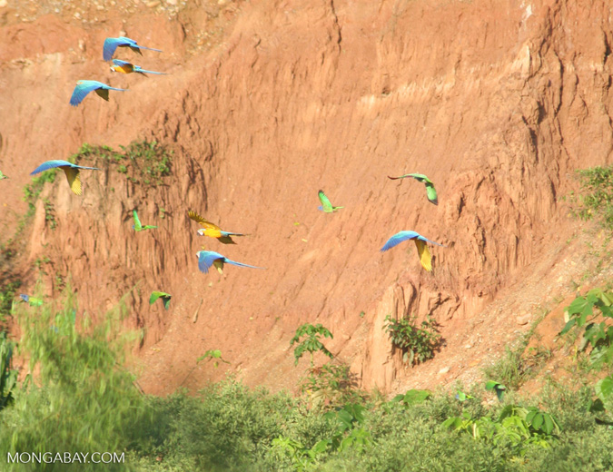 Blue-and-yellow macaws (Ara ararauna) flying with Blue-headed parrots (Pionus menstruus)