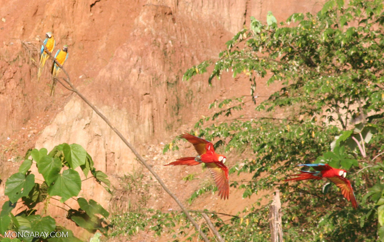 Pair of Blue-and-yellow macaws (Ara ararauna) watching the passing of two scarlet macaws