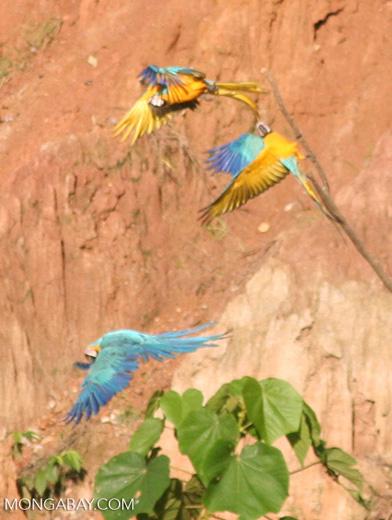 Three Blue-and-yellow macaws (Ara ararauna) perched in tree