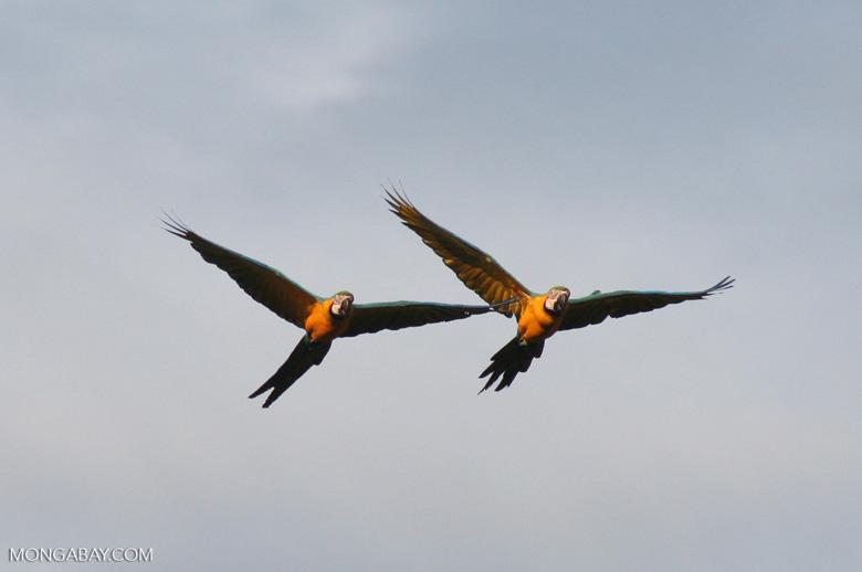 Pair of Blue-and-yellow macaws (Ara ararauna) flying [tambopata-Tambopata_1027_4226a]