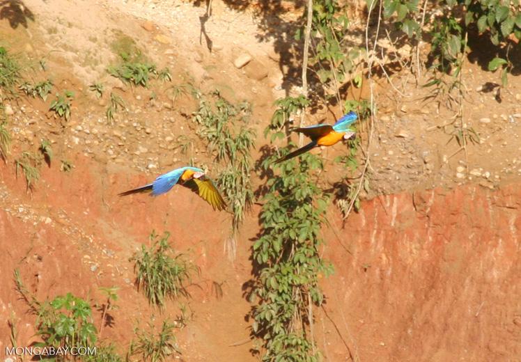 Pair of Blue-and-yellow macaws (Ara ararauna) flying [tambopata-Tambopata_1027_4228]