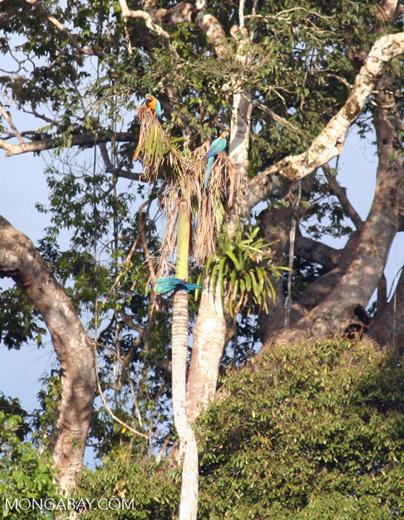Three Blue-and-yellow macaws (Ara ararauna) perched in tree [tambopata-Tambopata_1027_4231a]