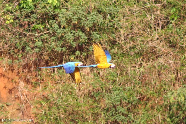 Pair of Blue-and-yellow macaws (Ara ararauna) flying