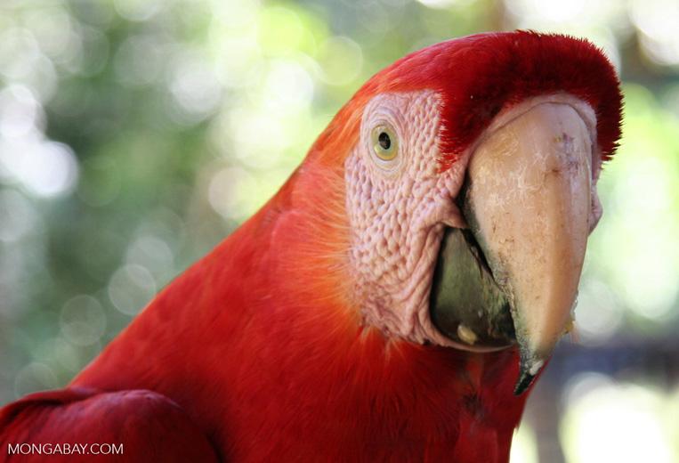 Scarlet macaw (Ara macao) headshot
