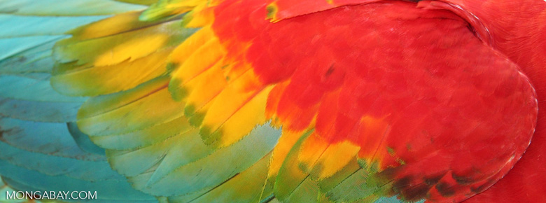 Feathers of scarlet macaw (Ara macao)