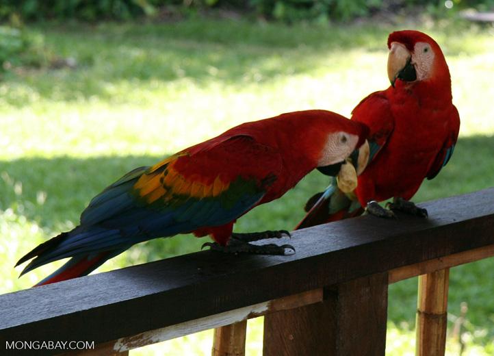 Scarlet macaws (Ara macao) at Tambopata Research Center