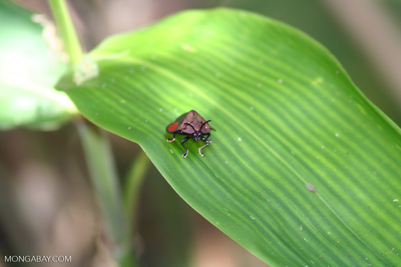 Small brown Pleasing Fungus Beetle (family Erotylidae) with red marking