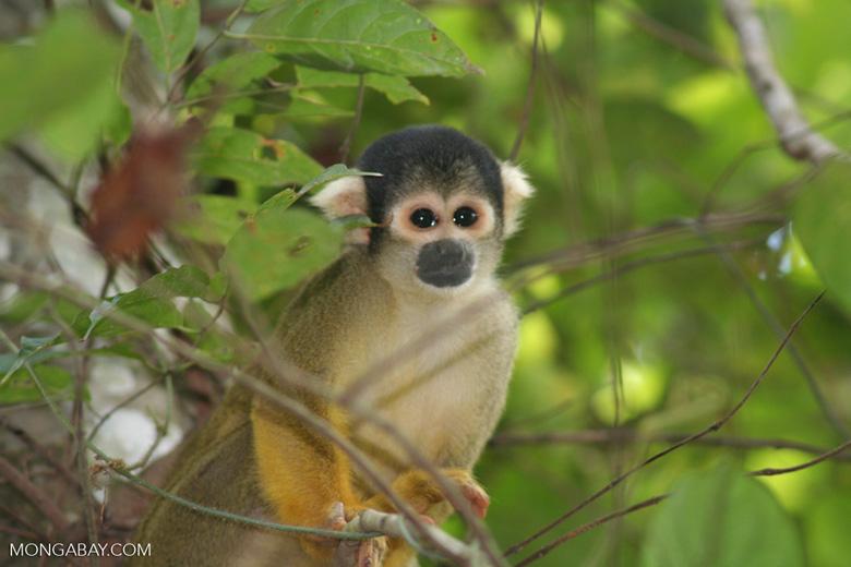 Squirrel monkey (Saimiri sciureus)
