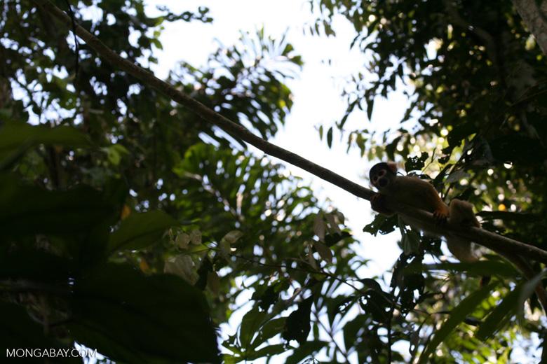Squirrel monkey (Saimiri sciureus) [tambopata-Tambopata_1028_4380]