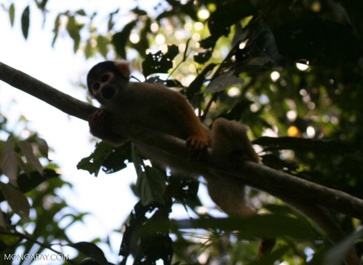Squirrel monkey (Saimiri sciureus) [tambopata-Tambopata_1028_4380a]