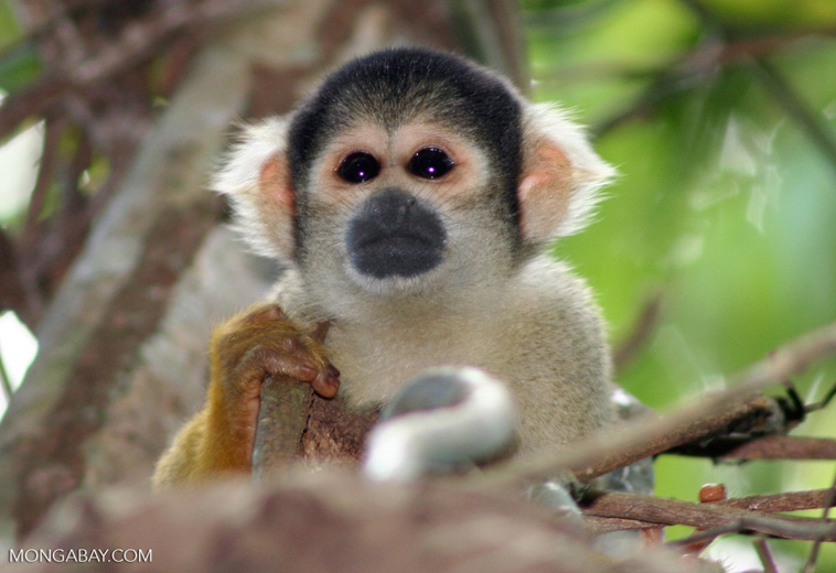 Squirrel monkey (Saimiri sciureus) [tambopata-Tambopata_1028_4388]