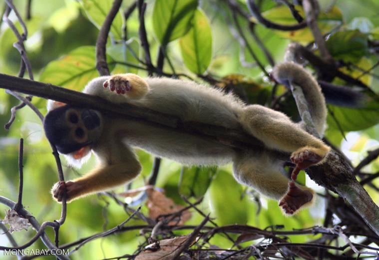 Squirrel monkey (Saimiri sciureus) [tambopata-Tambopata_1028_4390]