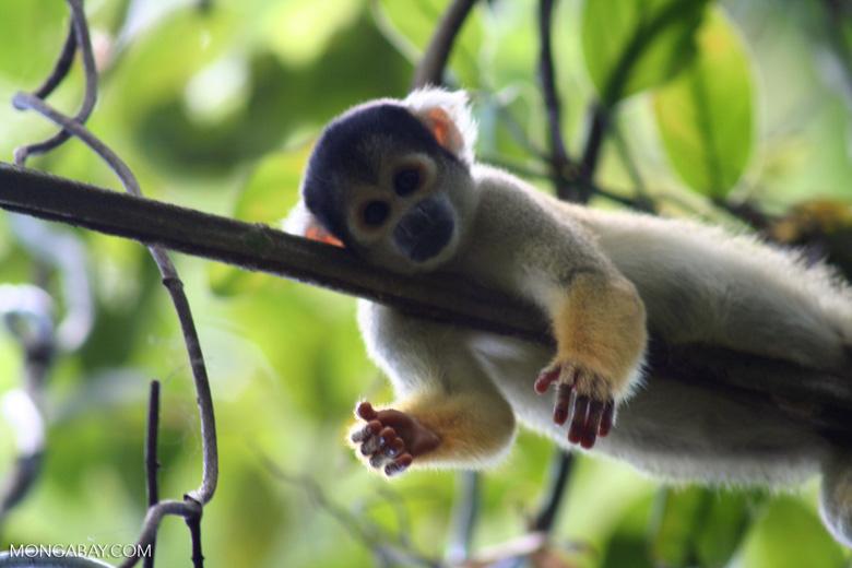 Squirrel monkey (Saimiri sciureus) [tambopata-Tambopata_1028_4391]