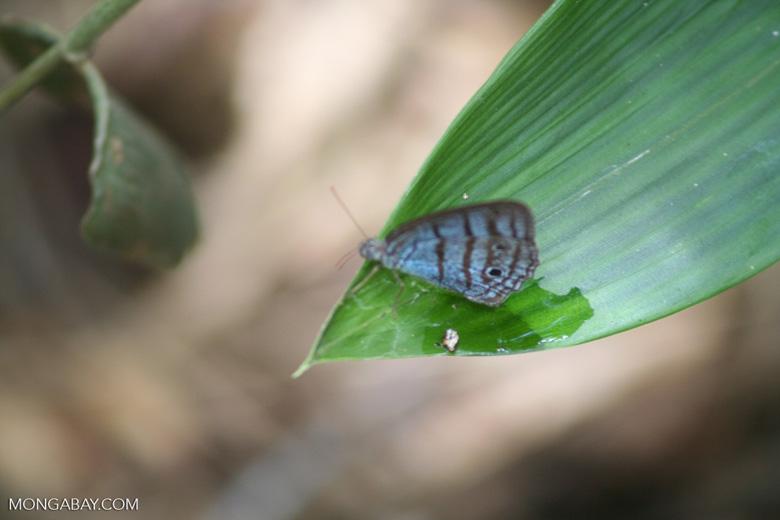 Blue butterfly feeding on bird dropping