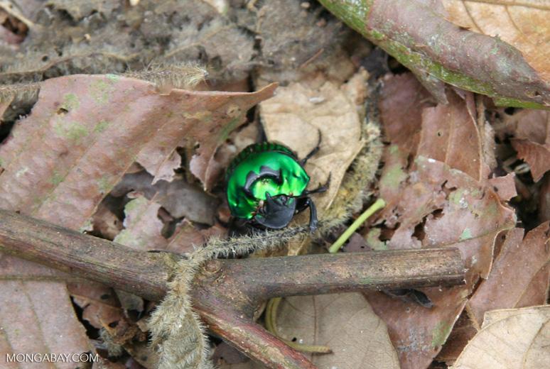 Iridescent green beetle
