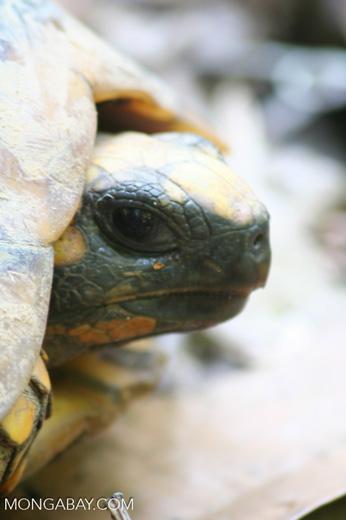 Yellow-footed Tortoise (Geochelone denticulata) [tambopata-Tambopata_1028_4450]