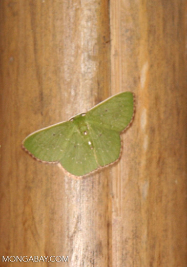 Unknown butterfly; lime green wings with beige to yellow border