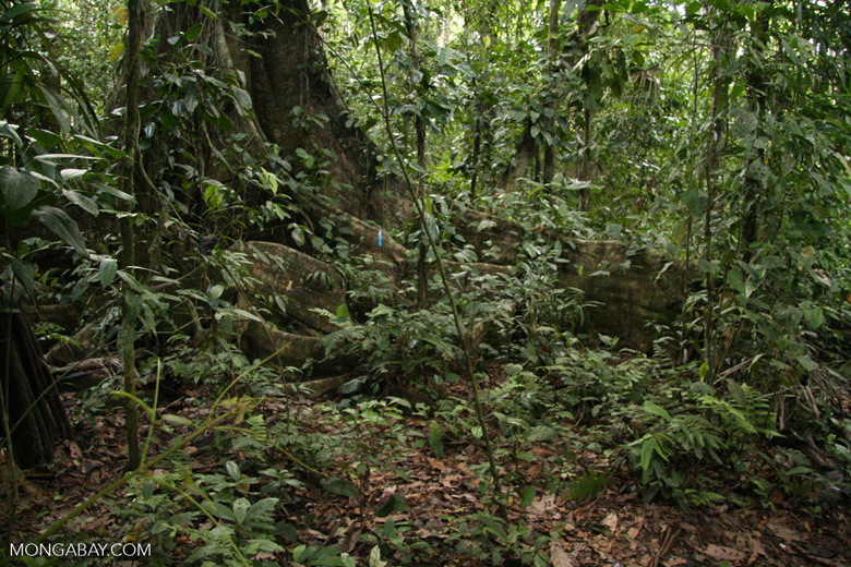Buttress roots of rainforest tree