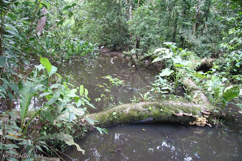 Rainforest pond biotope [tambopata-Tambopata_1028_4515]