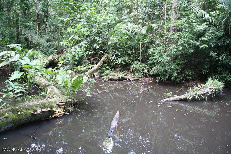 Rainforest pond biotope [tambopata-Tambopata_1028_4516]