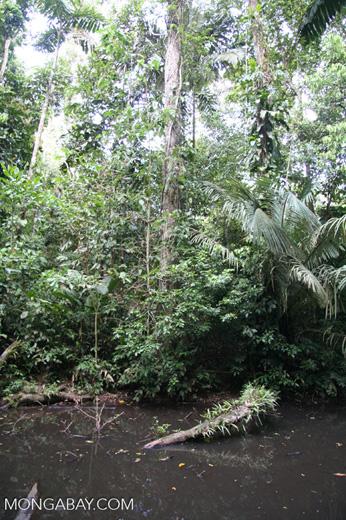 Rainforest pond biotope [tambopata-Tambopata_1028_4517]