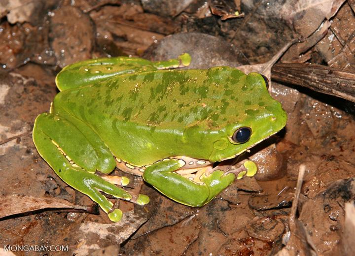 Monkey frog (Phyllomedusa bicolor) on forest floor