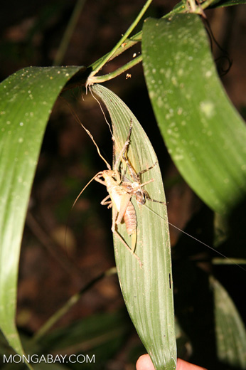 Katydid eating another grasshopper