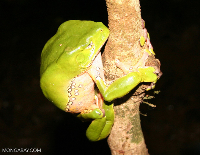 Monkey frog (Phyllomedusa bicolor) sleeping