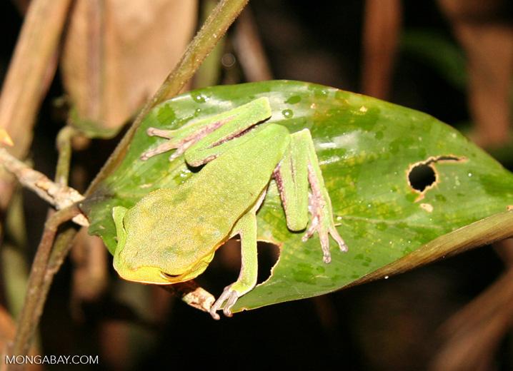 Cat-eyed frog (Phyllomedusea vaillanti)