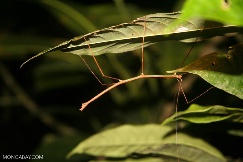 Walking stick insect under a leaf