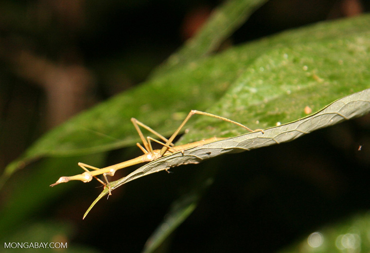 Greenish-yellow walking stick insect