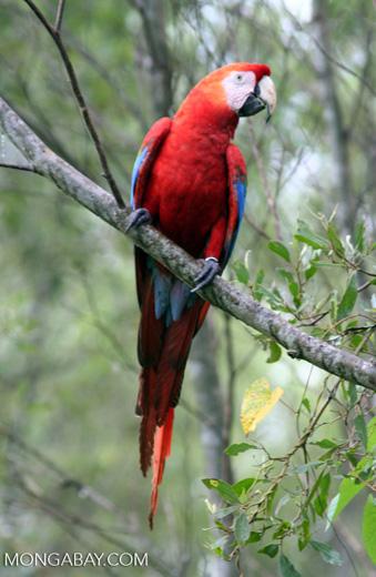 Scarlet macaw (Ara macao) [tambopata-Tambopata_1029_4697]