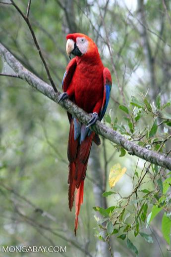 Scarlet macaw (Ara macao) [tambopata-Tambopata_1029_4698]