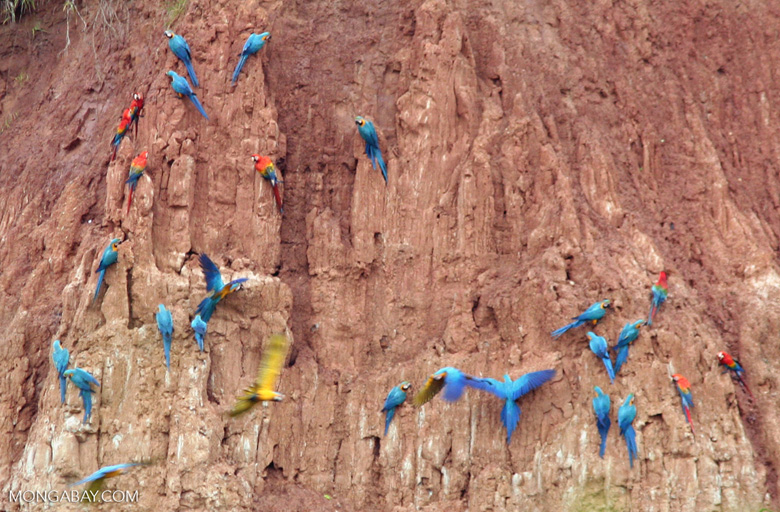 Blue-and-yellow macaws; Scarlet macaws; and parrots on clay lick