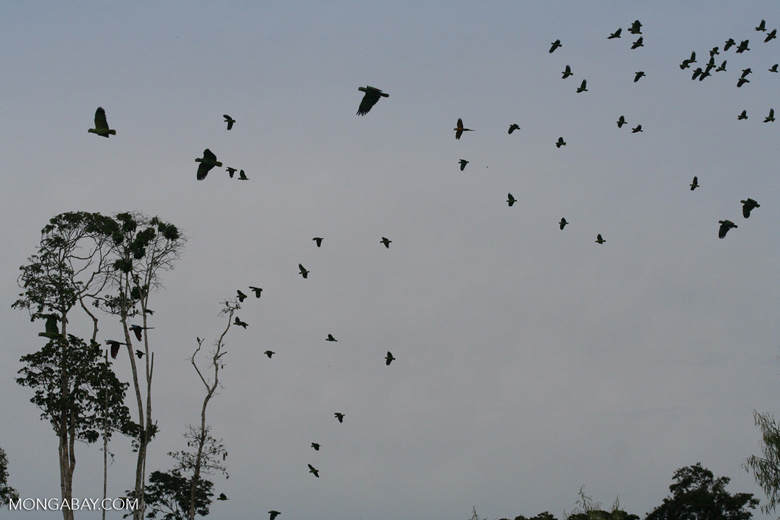 Flock of parrots in flight