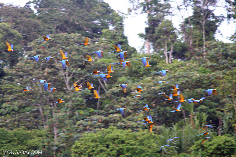 Blue-and-yellow macaws flying toward clay lick