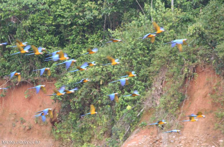 Blue-and-yellow macaws (Ara ararauna) flying toward clay lick